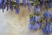 Purple Wisteria Flowers On Grunge Wall