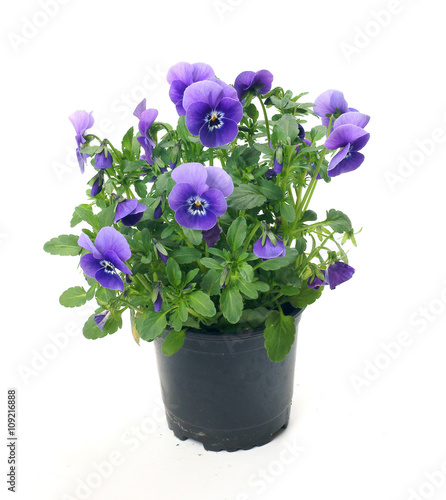 Spoed Foto op Canvas Pansies Pansies in a pot on a white background