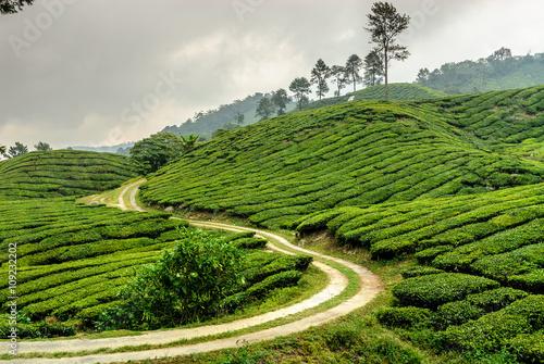 Cuadros en Lienzo tea plantations in Cameron higlands in the north of Malaysia