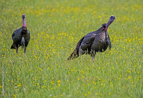 Fotografering  Two wild Turkeys in a field of yellow wildflowers.