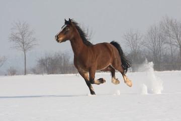Nice welsh pony running