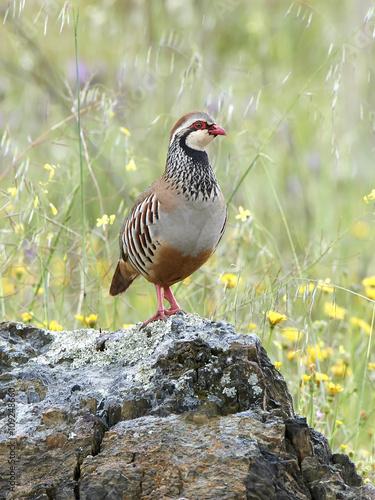 Photo Red-legged partridge (Alectoris rufa)