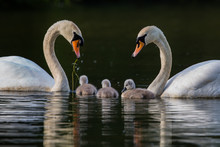 Pair Of Swans With Three Cygnets In A Family Unit