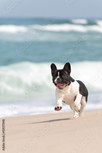 Poster Bouledogue français French bulldog on the beach