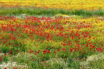 Fototapeta A field of spring flowers in Castiglione del Lago Province of Pe