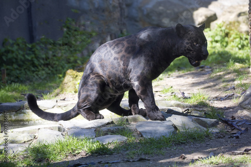 In de dag Panter Jaguar Panthera onca, black form, during defecation