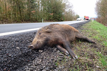 Car Accident With Wild Boar On...