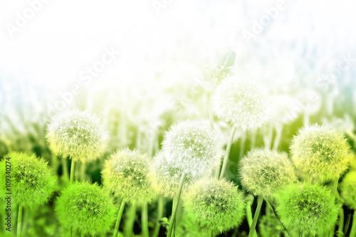 biale-i-zielone-dmuchawce