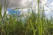 Sugarcane plantation farm landscape
