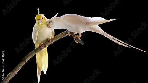 Valokuva  Cockatiel parrot
