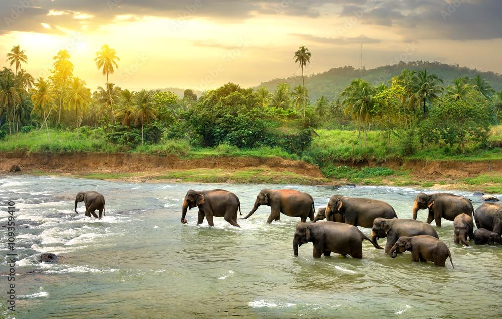 Fototapety, obrazy: Słonie w rzece, egzotyka