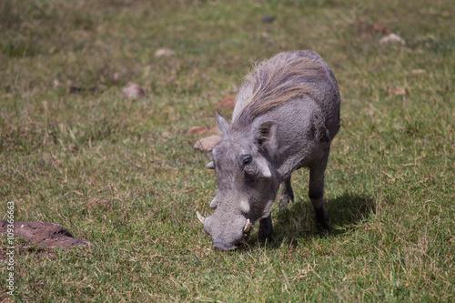 Photo  Pumba grazing