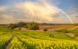 Fototapeta Tęcza - krajobraz wiejski,kwitnący rzepak na polu,ulewa i tęcza