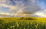 Fototapeta Tęcza - tęcza nad polem rzepaku po przejściu wiosennej ulewy