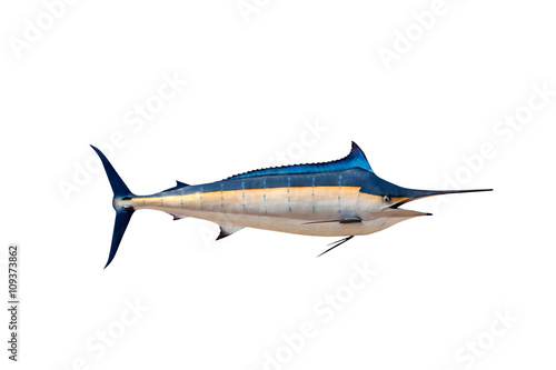 Photo  Marlin - Swordfish,Sailfish saltwater fish (Istiophorus) isolate