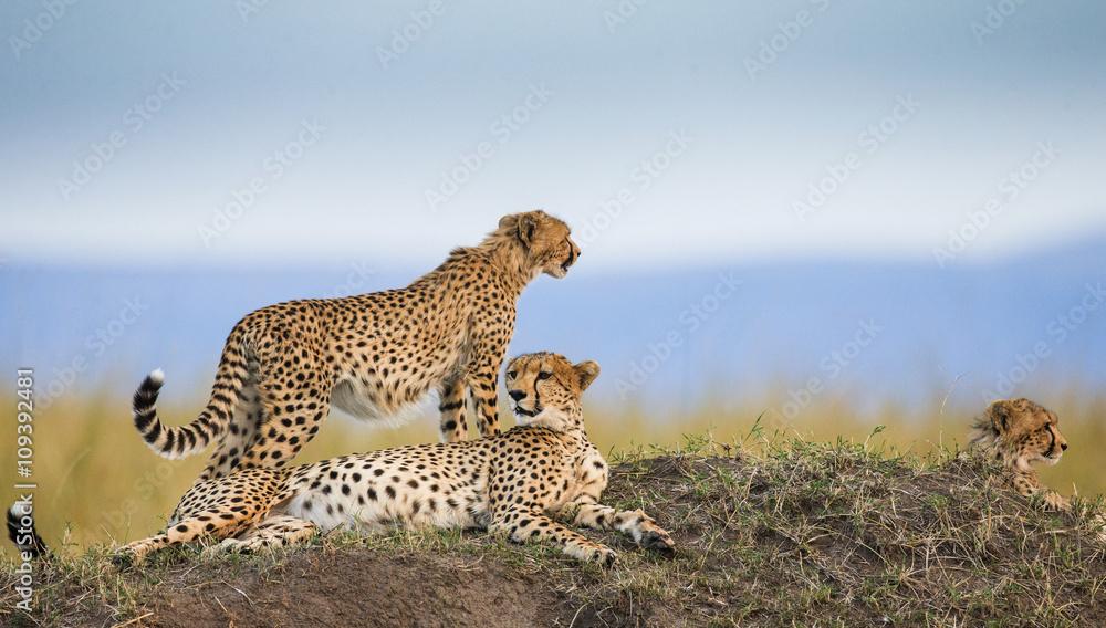 Three cheetahs in the savannah. Kenya. Tanzania. Africa. National Park. Serengeti. Maasai Mara. An excellent illustration.