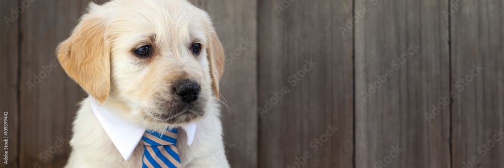 Fototapety, obrazy: Golden retriever puppy in business suit tie