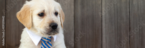 Tela Golden retriever puppy in business suit tie