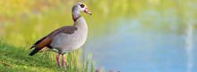 Nilgans (Alopochen Aegyptiacus) An Einem Teich In Der Natur
