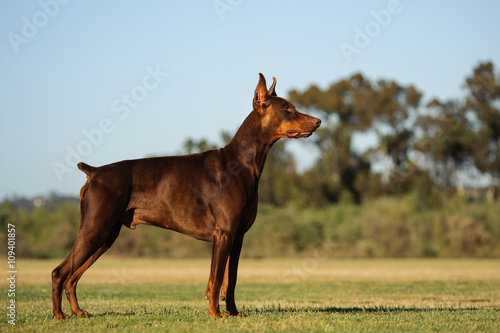 Obraz na plátne Doberman Pinscher dog with cropped ears and red and tan marking lying down playi