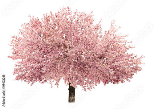Foto op Canvas Bomen Blossoming pink sacura tree isolated on white
