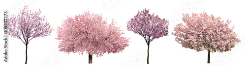 Tuinposter Bomen Blossoming pink sacura trees isolated on white