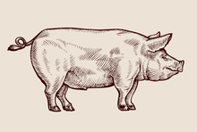 Sketch Pig. Hand-drawn Vector ...