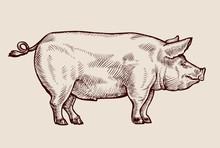 Sketch Pig. Hand-drawn Vector Illustration