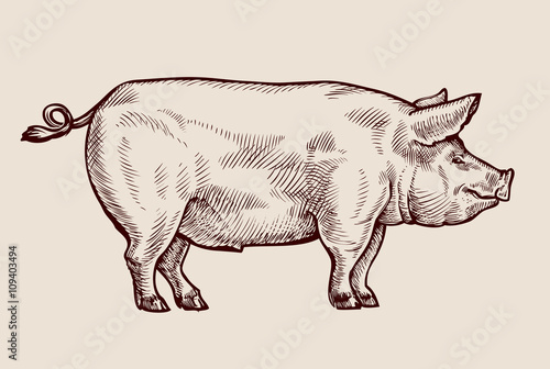 Cuadros en Lienzo  Sketch pig. Hand-drawn vector illustration