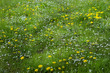 Loewenzahn und Gaensebluemchen