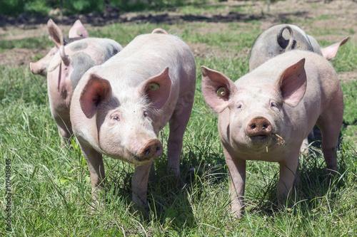Fotografie, Obraz  Glückliche Ferkel auf der Wiese, Glücksschweine
