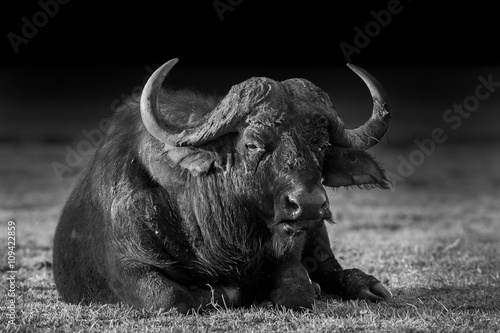 Keuken foto achterwand Buffel African buffalo in Black and White