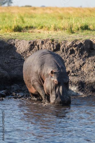 Hippo walking in river