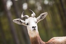 Portrait Of A Dama Gazelle In ...