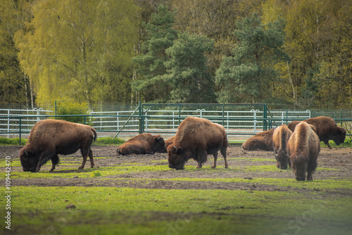 Aluminium Prints Bison on the meadow . Herd animals Sthen calm and eat grass