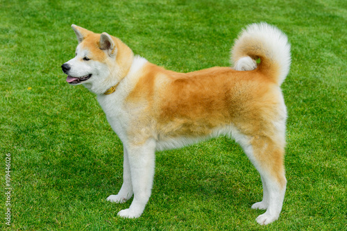 Akita - young dog standing on the green field. Wallpaper Mural