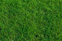 Bermuda Grass Background.