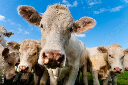 Photo Stands Cow charolais calves
