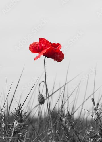 Plakaty czerwony kwiat na szarej łące
