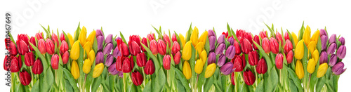 Poster Tulp Fresh spring tulip flowers. Colorful floral border. Holidays