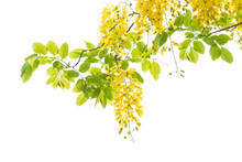 Golden Shower Tree (Cassia Fistula) Isolated On White Background.