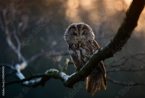 Photo Portrait of a Tawny Owl (strix aluco)