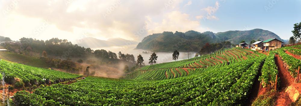 Fototapety, obrazy: Panorama of Strawberry Farm at Doi Ang Khang, Chiang Mai, Thaila