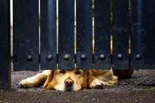 Guard Dog Bored Under Gate