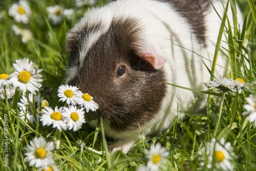 Fotografía  Guinea pig eating grass outside in the garden
