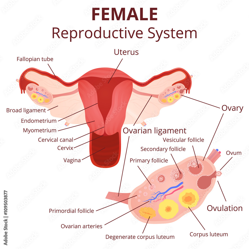 Female Reproductive System Foto Poster Wandbilder Bei Europosters