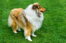 Long Haired Rough Collie Stand...