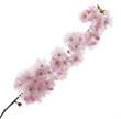 Sakura - Frühling