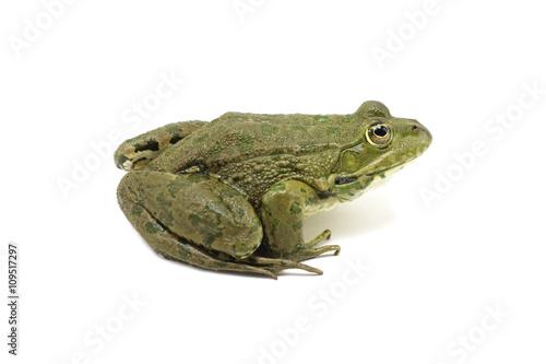 Foto op Plexiglas Kikker large lake speckled spotted frog on white background