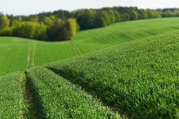 Obraz na Szkle Wiejski Piękne wielkie pole z zasianą pszenicą